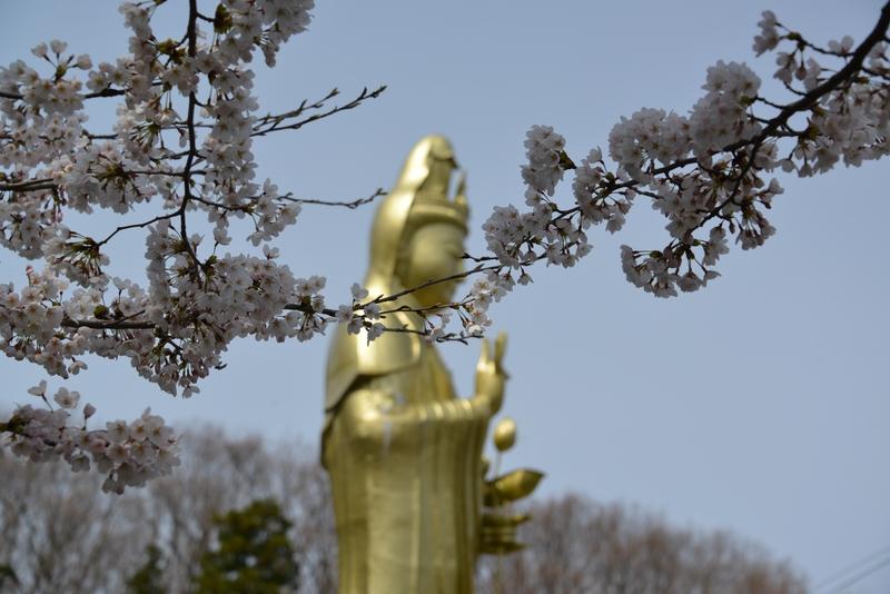観音寺 桜-3
