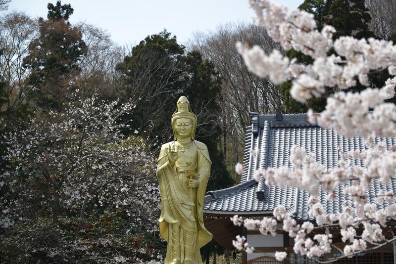 観音寺 桜-4