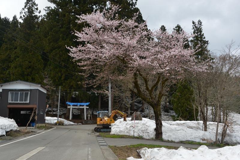 豪雪地にも春-1