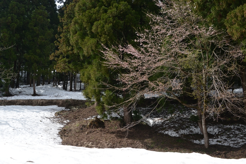 豪雪地にも春-4