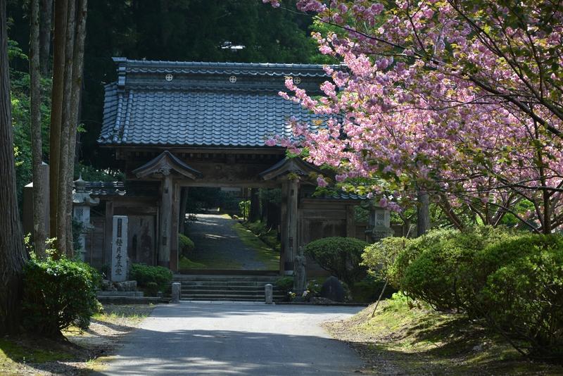 種月寺 八重桜-1
