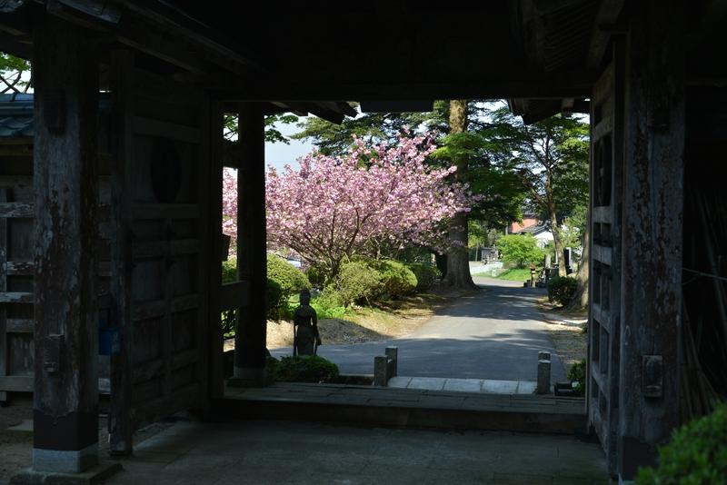 種月寺 八重桜-2