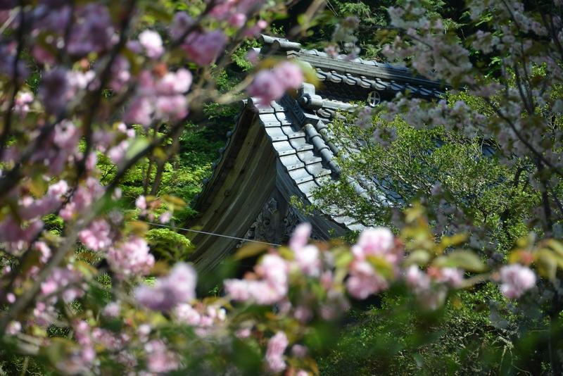 種月寺 八重桜-3