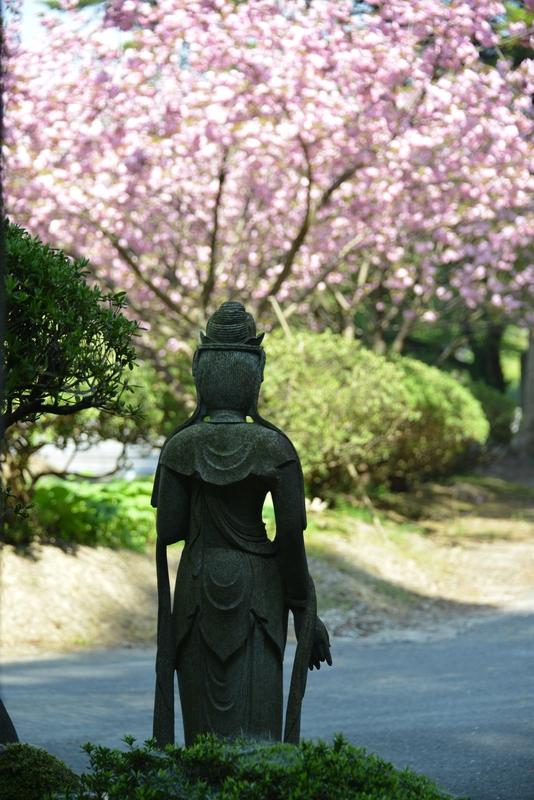 種月寺 八重桜-4