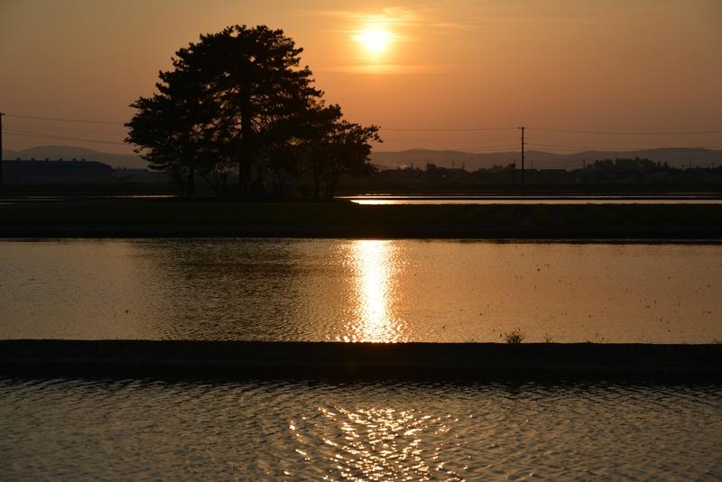 夕陽 レンコン畑-2
