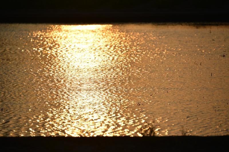 夕陽 レンコン畑-4