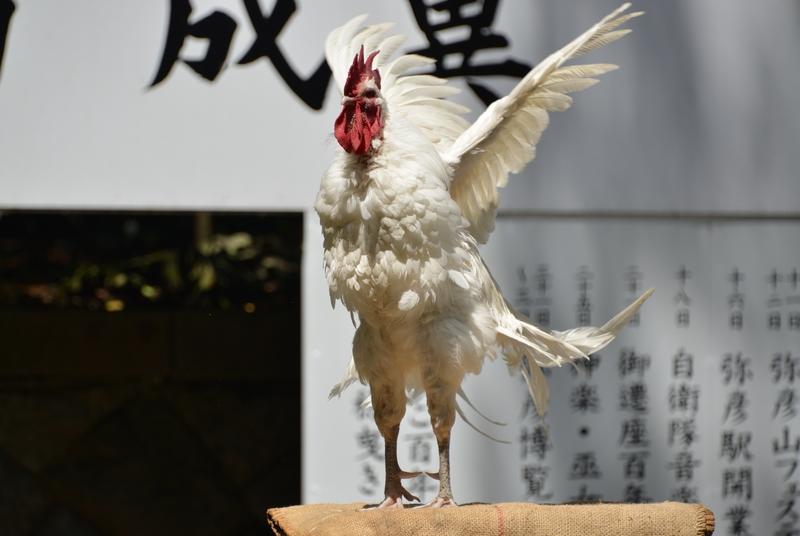 日本鶏-12