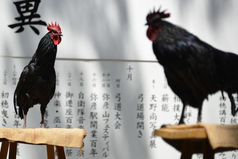 日本鶏-9