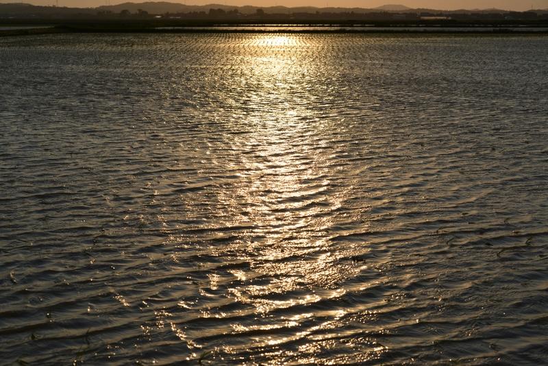 水田の夕陽-2