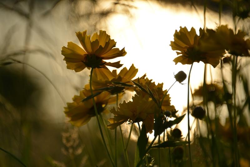 黄色い花たち-3