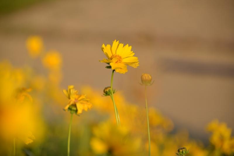 黄色い花たち-4