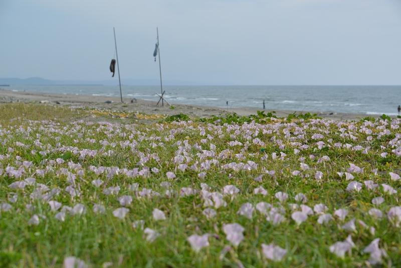 浜昼顔-2