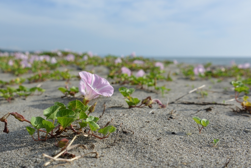 浜昼顔-4