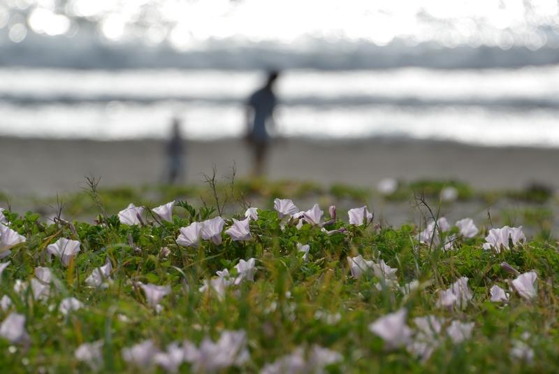 浜昼顔-5