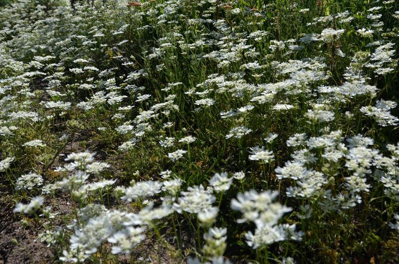 白い花々-1