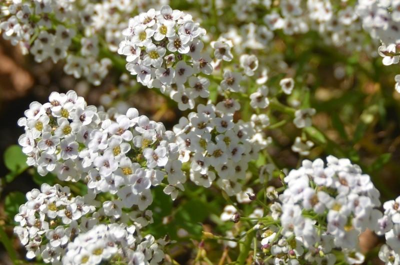 白い花々-2
