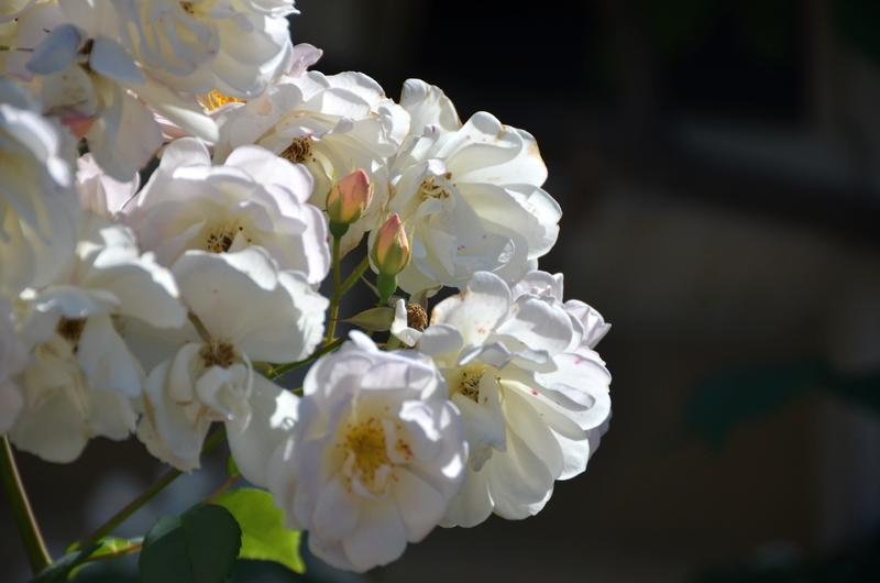 白い花々-5