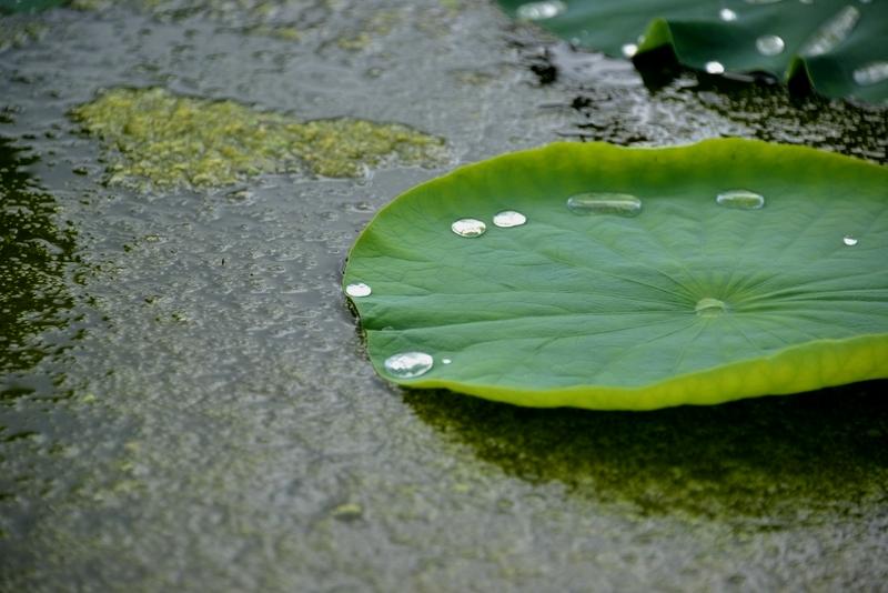 レンコン畑 雨後-2