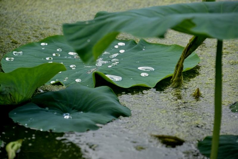 レンコン畑 雨後-3