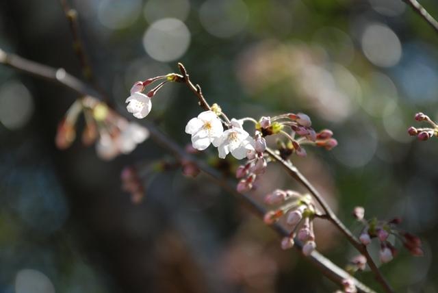 20150327伊勢の桜043web大