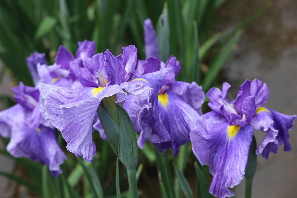 紫雲の峯…肥後系