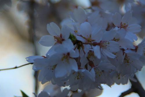 20150402_sakura_10.jpg