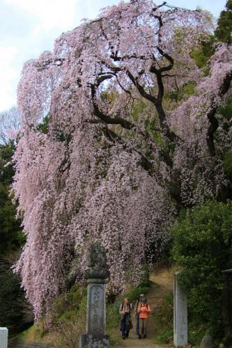 20150403_baigannjisakura_02.jpg