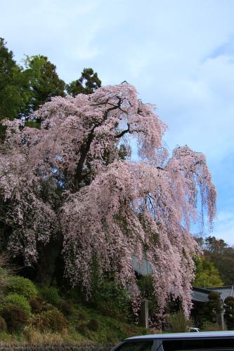 20150403_baigannjisakura_05.jpg