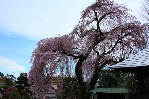 20150403_baigannjisakura_14.jpg