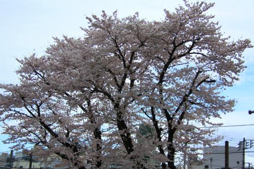 20150403_baigannjisakura_23.jpg