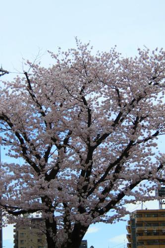 20150403_baigannjisakura_24.jpg