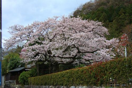 20150403_baigannjisakura_25.jpg