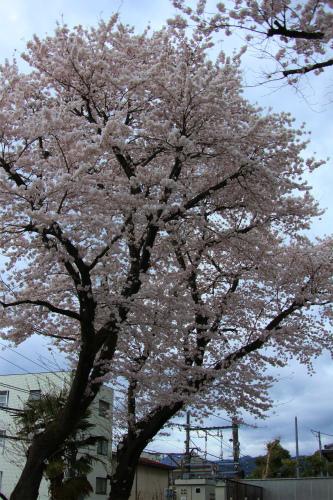 20150403_baigannjisakura_26.jpg