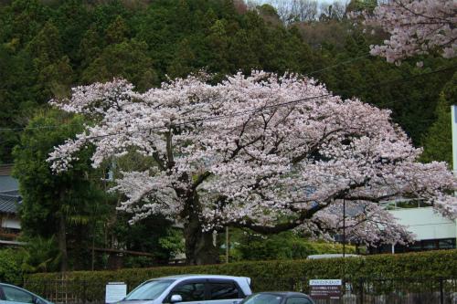 20150403_baigannjisakura_27.jpg