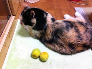 梅の実と猫