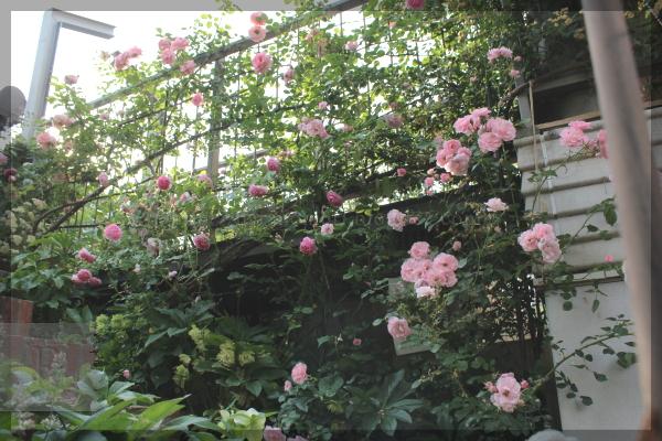 橋 羽衣 シンデレラ ボニカ 20150523 庭仕事