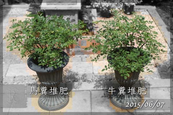 牛糞堆肥 馬糞堆肥 実験 肥料 20150607 レッドドリフト