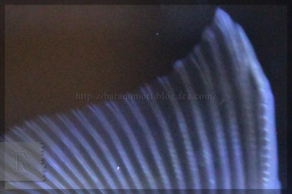 金魚 オランダ獅子頭 20150416