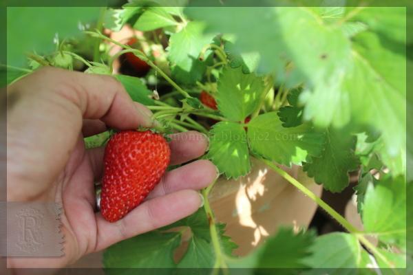 いちご イチゴ 苺 四季なり 20150522