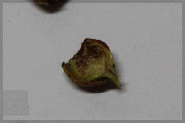 キモッコウ 実 20150111