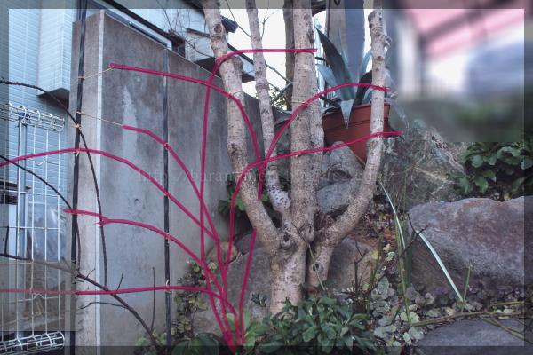 庭バラ ロックガーデン 20150112 バロンジロードラン