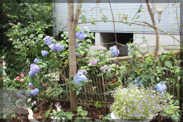 20150622 紫陽花 アジサイ