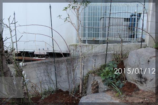 庭バラ ロックガーデン 20150112 紅玉