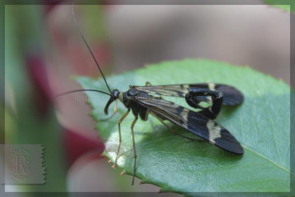 シリアゲ 昆虫 20150508