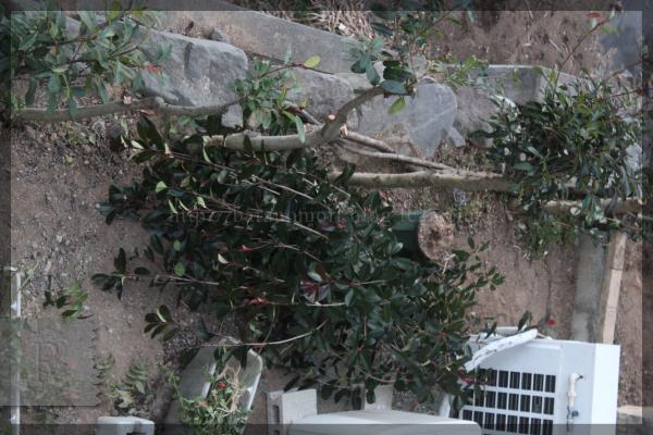 裏庭 伐採 東側 アカメ 20150113