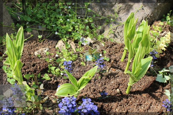 白花斑入り紫蘭 シラン 20150424