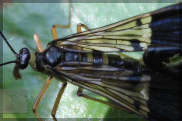 シリアゲ昆虫 20150508