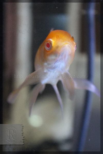 金魚 オランダ獅子頭 20150416 アルビノ