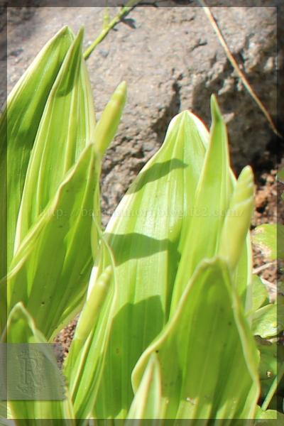 白花斑入紫蘭 シラン 裏庭 20150424