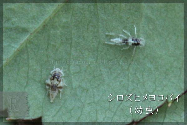 シロズヒメヨコバイ 20150505